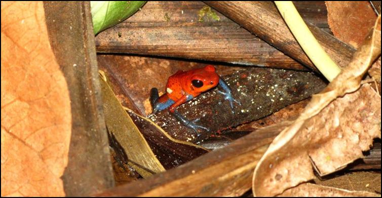 Oophaga pumilio poison dart frog