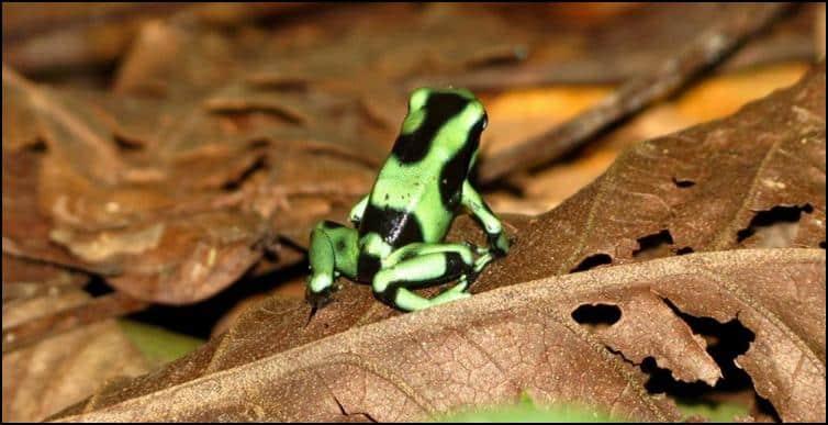 Dendrobates auratus (green and black poison dart frog)
