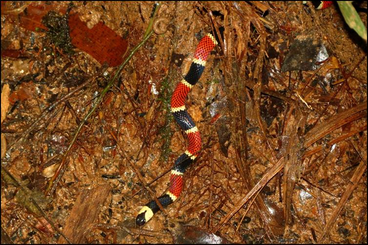 Tricolour coral snake