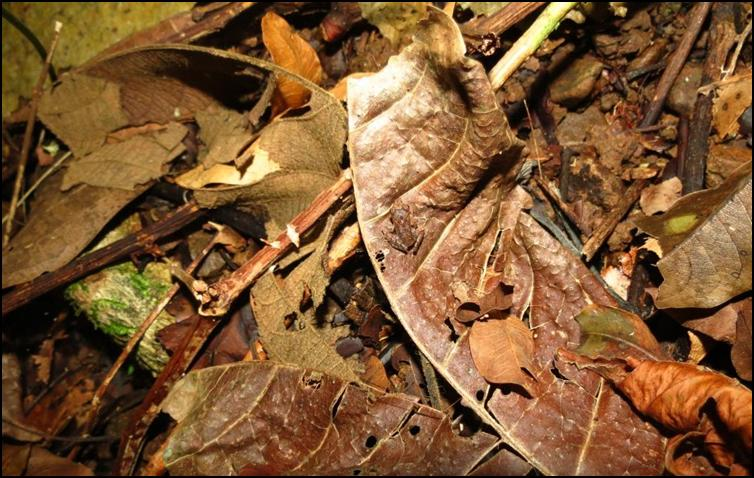 Camouflaged frog - 1