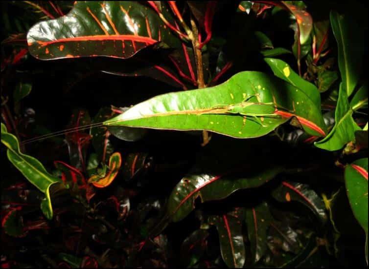 Camouflaged katydid (bush cricket)