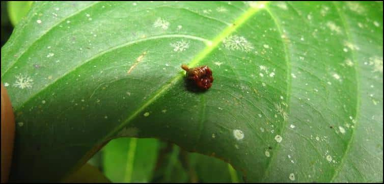Closer view of tiny brown camouflaged spider on a leaf