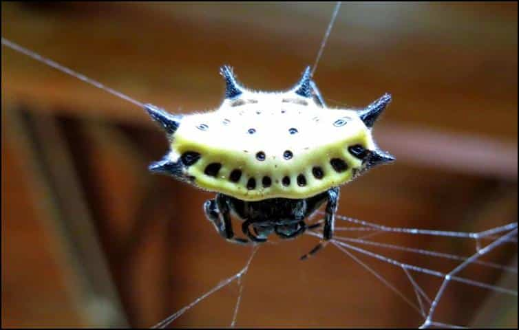 Another spider with abdominal spines