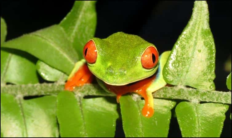 Tree frog front view