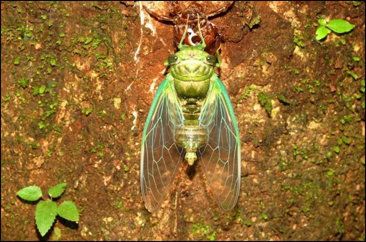 Bright green cicada species