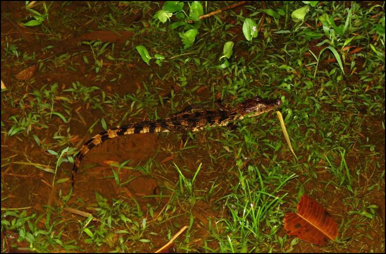 Tiny crocodile species