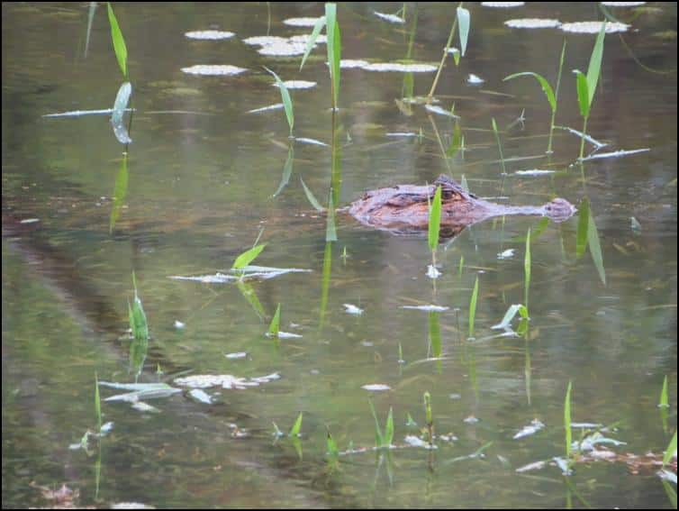Smaller spectacled caiman