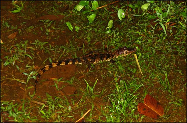 Young spectacled caiman