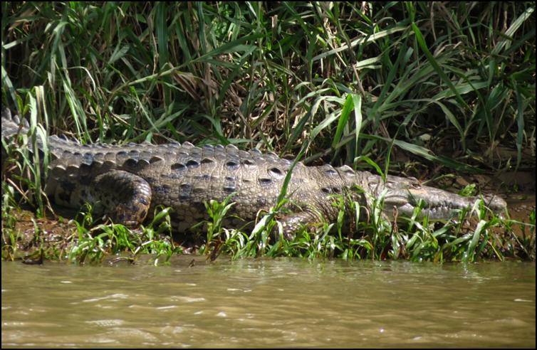 Bank side American alligator