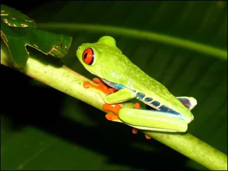 Red-eyed leaf frog (Agalychnis callidryas)