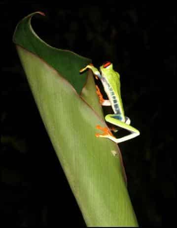 Side view of Red-eyed leaf frog (Agalychnis callidryas)