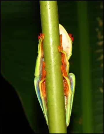 Underside of Red-eyed leaf frog (Agalychnis callidryas)
