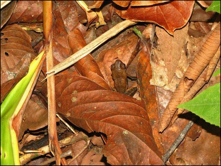 Camouflaged frog