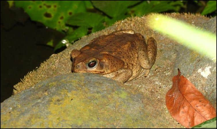 Marine toads (Rhinella marina)