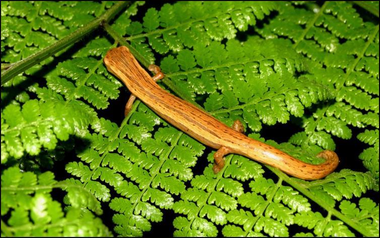 striated salamander aka Cukra climbing salamander (Bolitoglossa striatula)