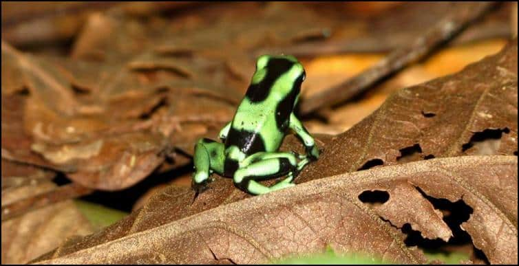 Green & black poison dart frog (Dendrobates auratus)
