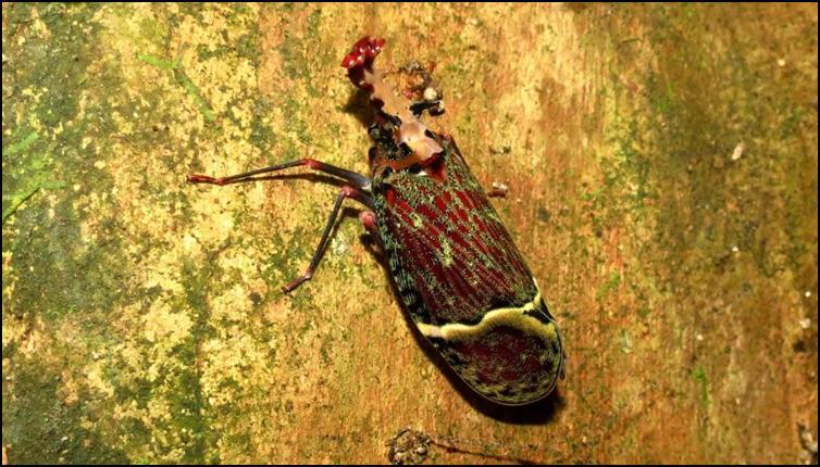 Lantern bug (Phrictus quinquepartitus)