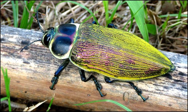 Another Ceiba borer beetle specimen