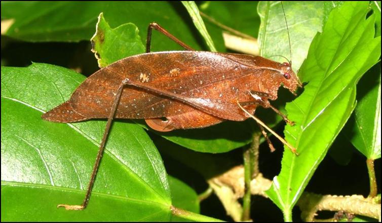 Unidentified Katydid species