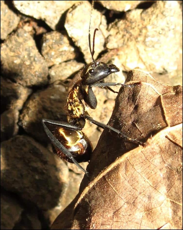 Close up of Carpenter ant (Genus Camponotus)