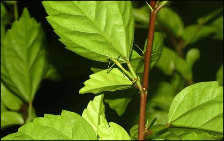Unidentified Mantis species