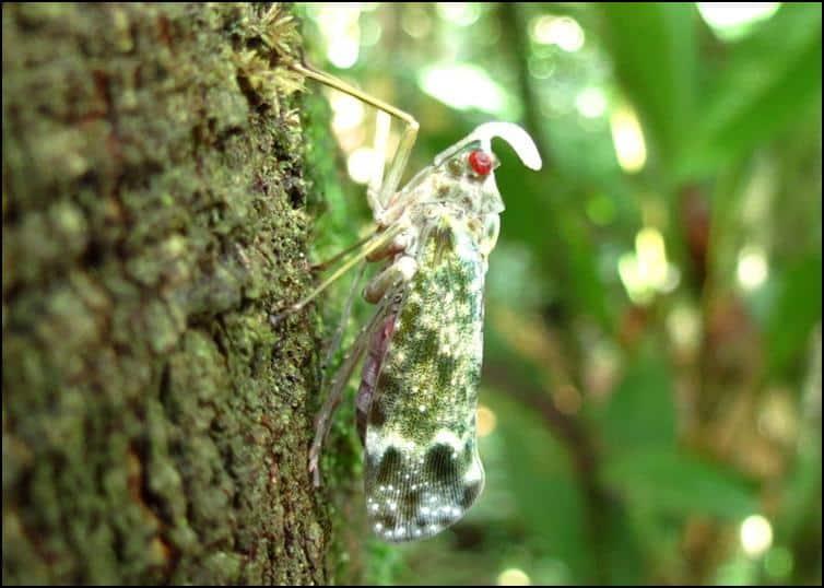 Smaller Lantern Bug (Enchophora sanguinea)
