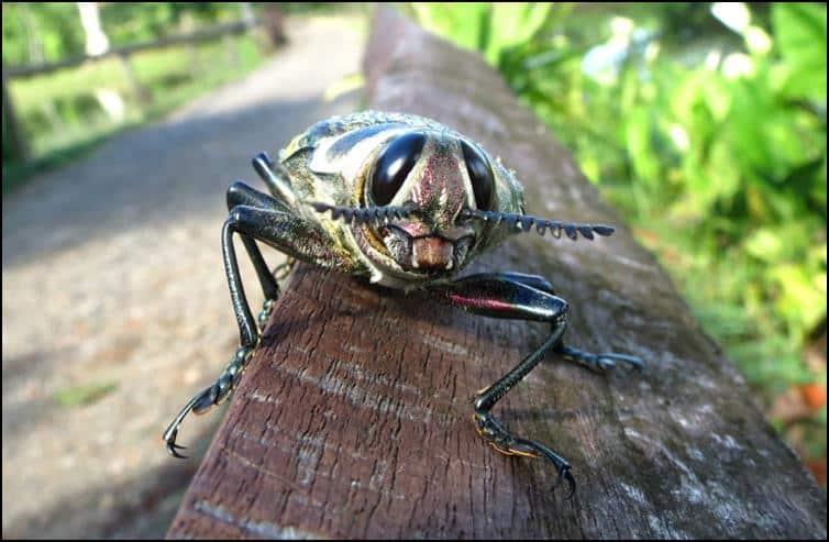 Close up photo of Ceiba borer beetle