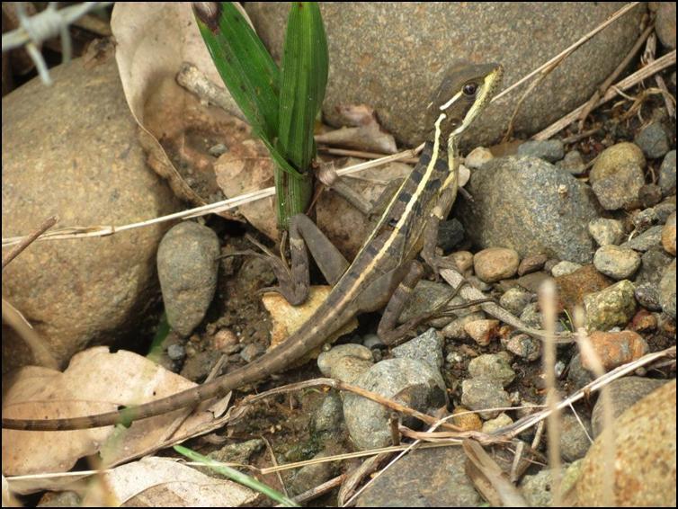Juvenile brown basilisk
