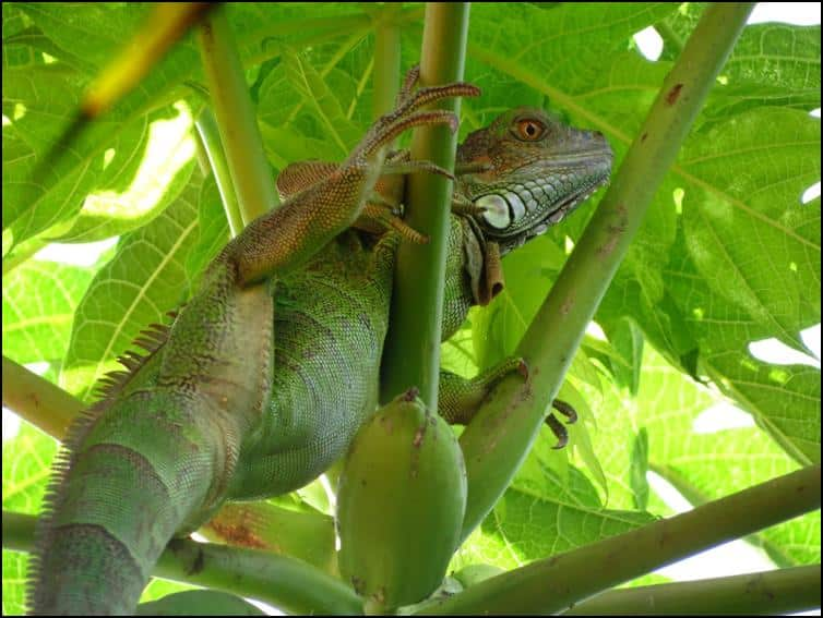 Large juvenile green iguana