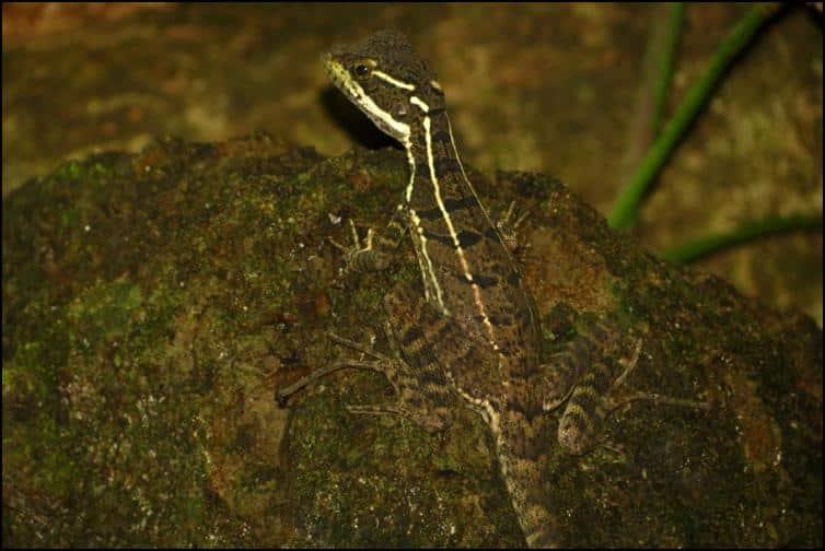 Juvenile common basilisk