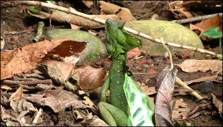 Plumed / Green basilisk