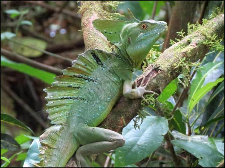Close up Plumed / Green basilisk