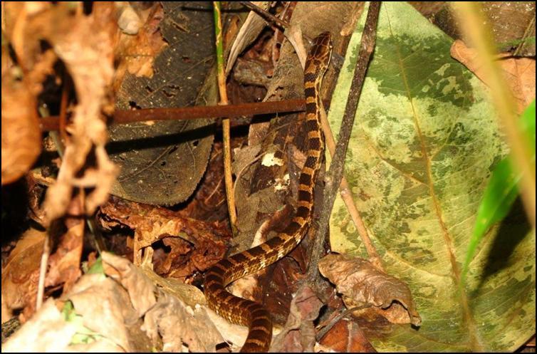 Salmon-bellied racer snake
