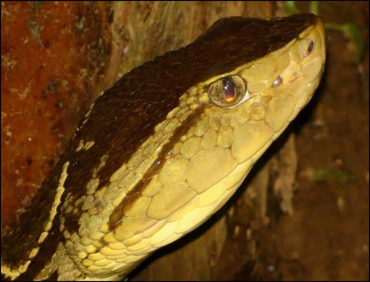Close up of Fer-de-Lance Snake