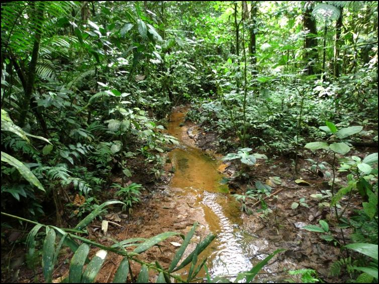 Forest floor stream bed where Allen's coral snake was found