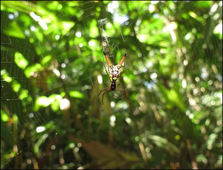Micrathena sexspinosa - zoomed out