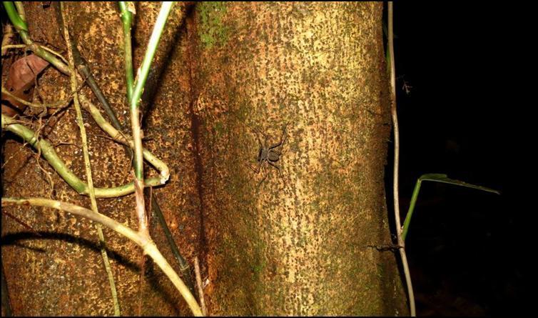 Amblypygid hunting up tree trunk