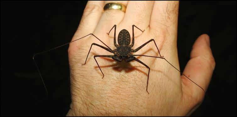 Whip spider on Jonathan's hand