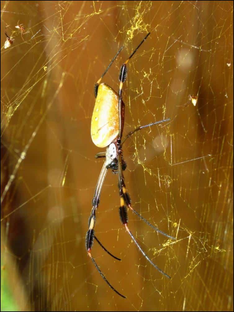 Nephila clavipes - Golden orb-weaver spider