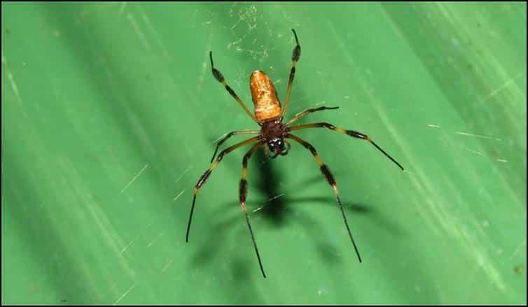 Nepihla spider species