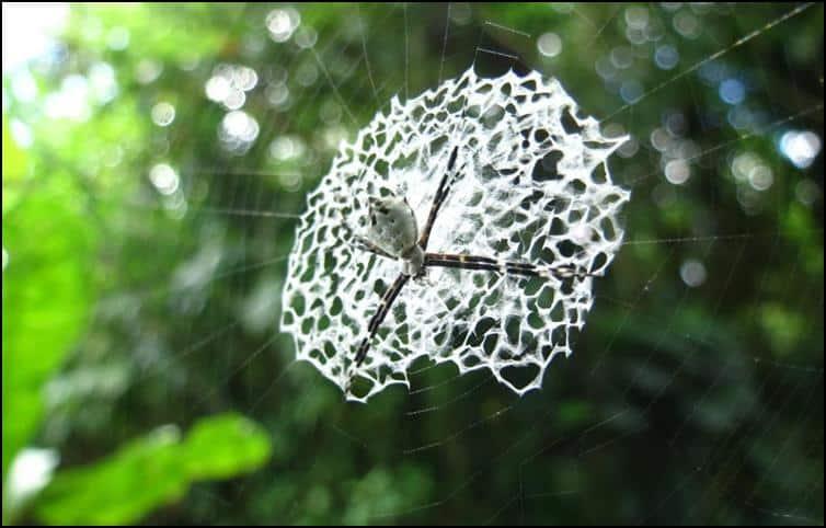 Stunning web of Argiope genus