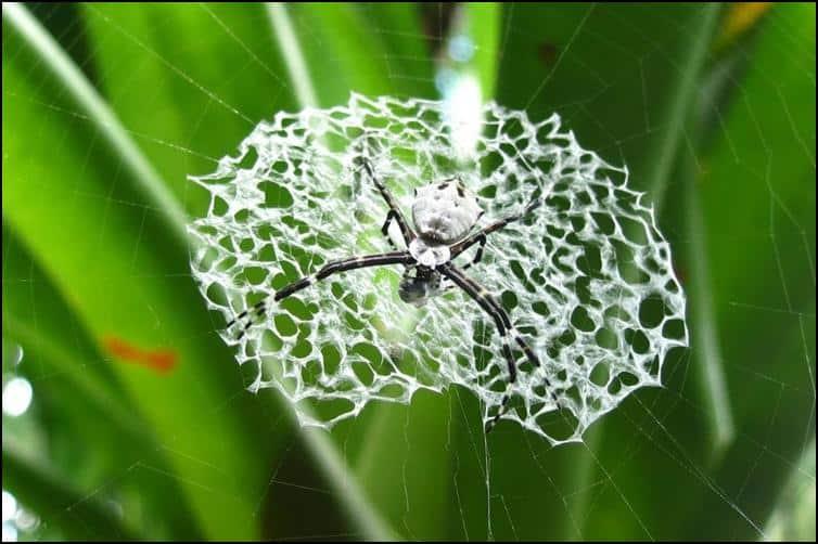 Argiope genus spider with it's dinner