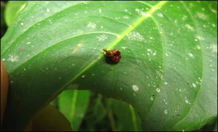 Tiny 'bird dropping' spider