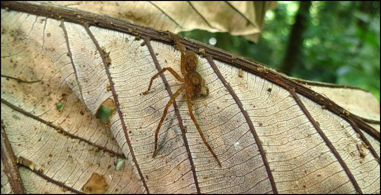 'Legless' spider