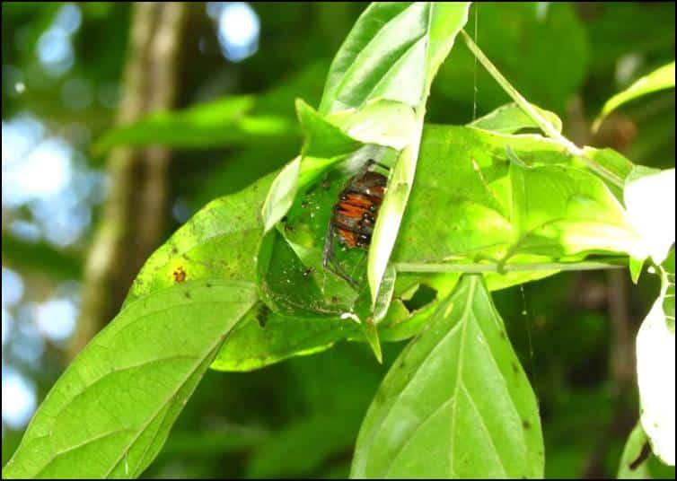 Large spider with orange legs