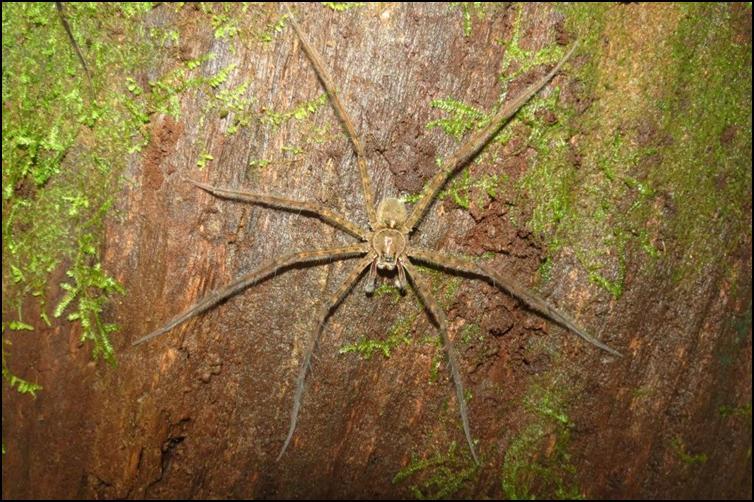 Central American huntsman spider
