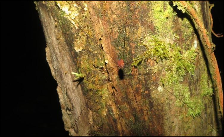 Another Opiliones species
