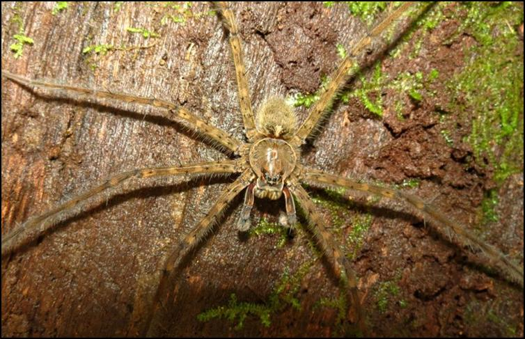 Central American huntsman spider - closeup