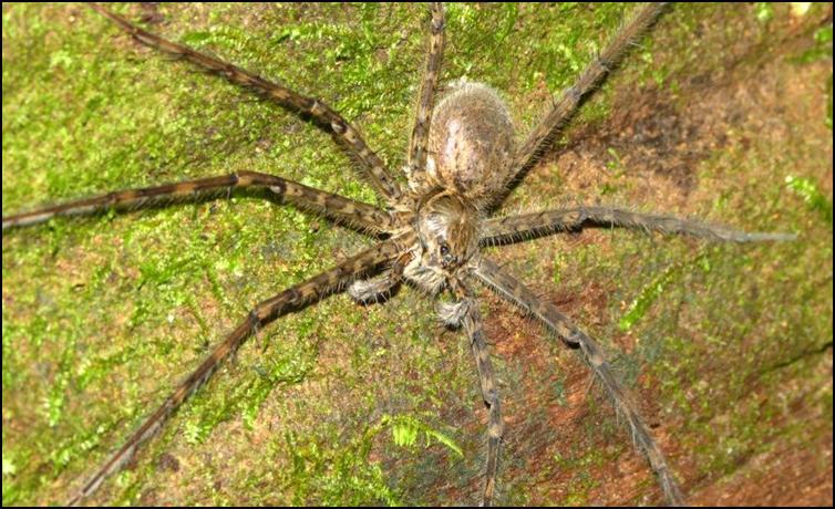 Central American huntsman spider - mate