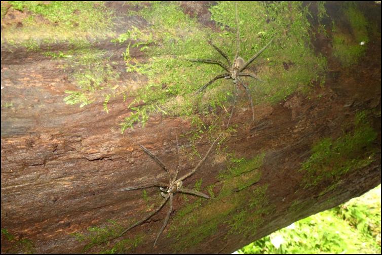 Pair of Central American huntsman spiders